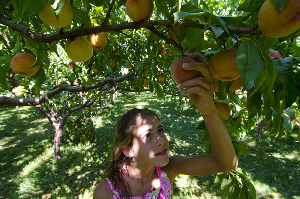 Picking ripe fruit