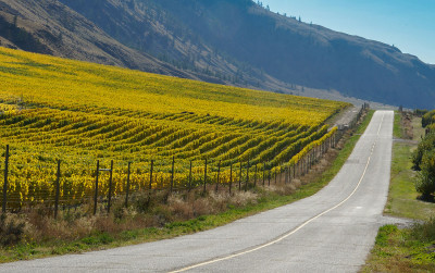 Fall Harvest of Grapes in the Similkameen wine region