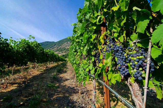 Similkameen Grapes