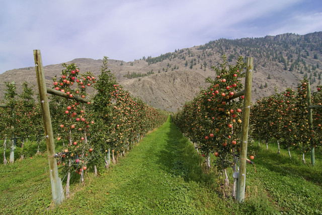 Apple orchard in Cawston. Fruits stands & orchards in the Similkameen