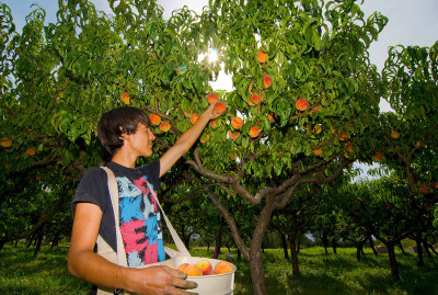 Fruit Stands & Orchards in the Similkameen Valley, Picking peaches