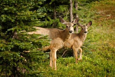 Deer in spring in the Similkameen valley